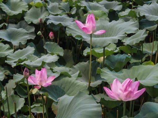 Frangipanier artisanat équitable fleurs de lotus et leur fruit avec graines