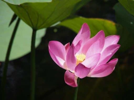 Frangipanier artisanat équitable fleur de lotus et son fruit avec graines